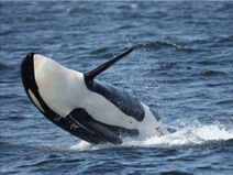 Orca-breaching-jpg-jpeg