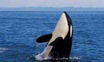 Southern resident orca katie jones header