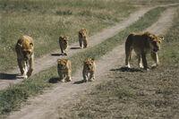 Lionzz