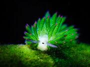 Leaf-sheep-sea-slug-costasiella-kuroshimae-6