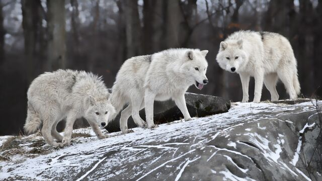 File:White Wolves.jpg