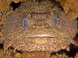 Toadfish