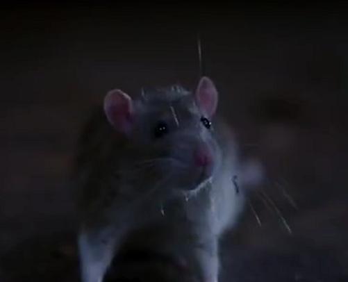 File:Rat 1.PNG