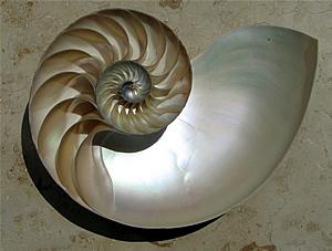 Nautilus Logarithmic Spiral