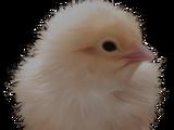 Poult