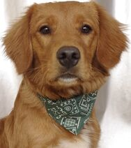 Chien-croise-epagneul-golden-retriever-adopter-94243-2
