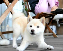 White-puppy-shiba-inu