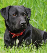 Labrador-le-labrador-noir 195839 wide