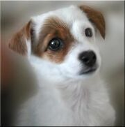 Puppy JackRusselTerrier with border-245x248