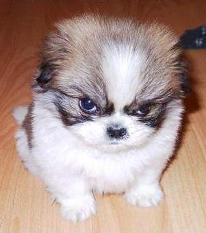 File:Mad puppy-11968.jpg