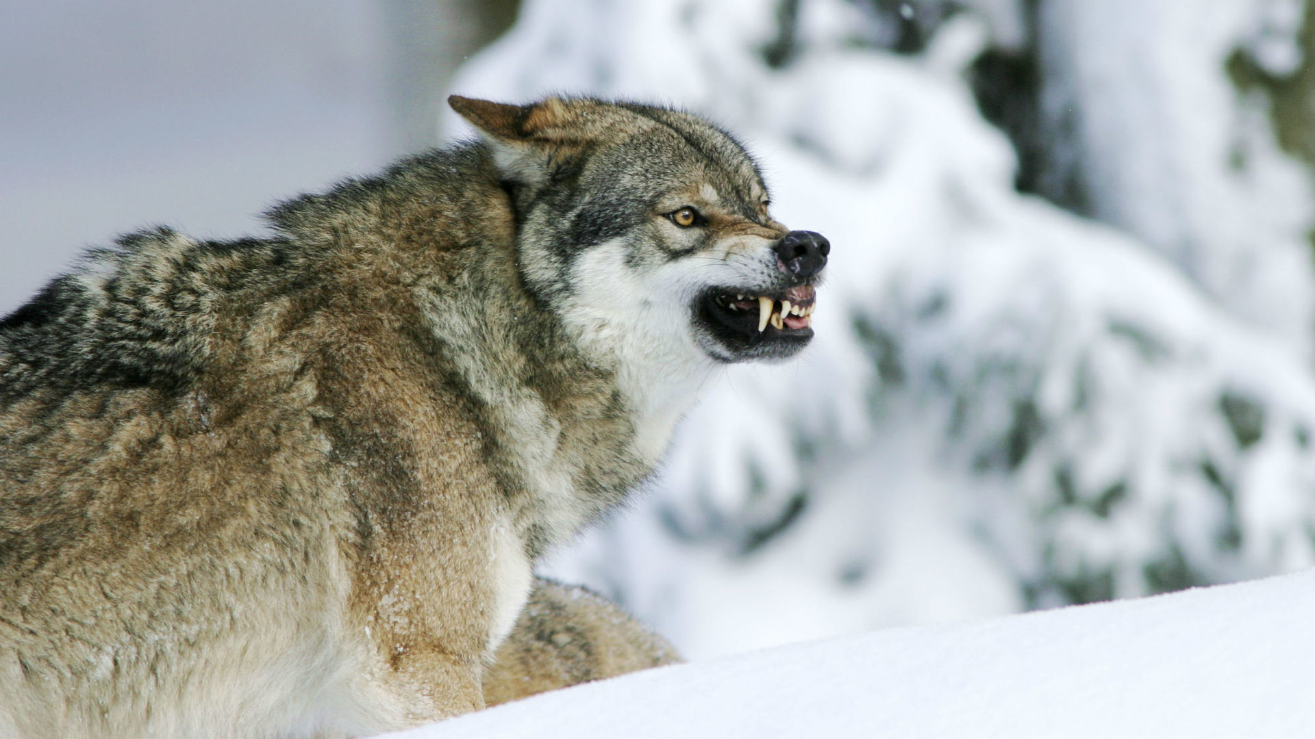 Волки | Хроники Стаи Вики | Fandom