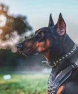 D417946230ccb70919000f00308fa88a--doberman-pinscher-dog-a-month