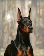 Dobermans-the-Original-05