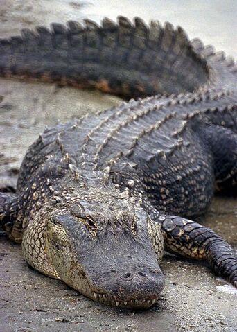 File:Florida Alligator.jpg