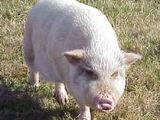 Hoth hog