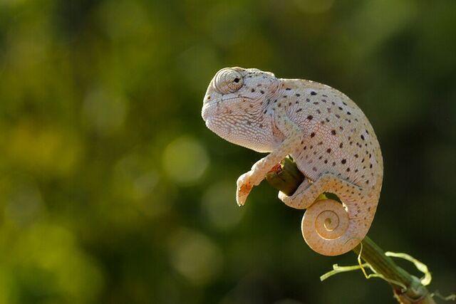 File:Chameleon2.jpg