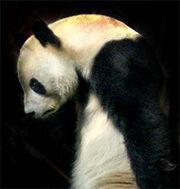 Sad panda 2