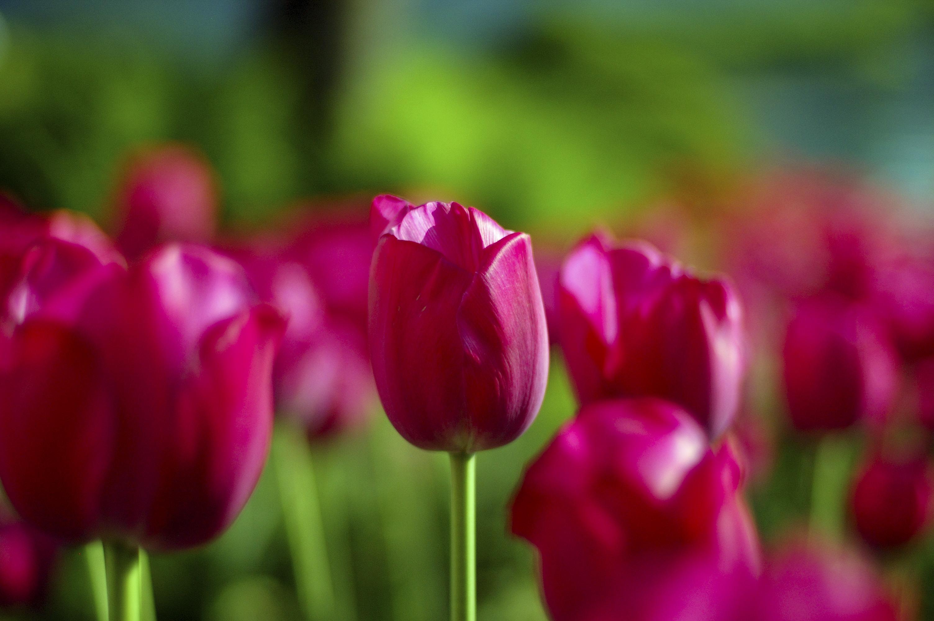 Tulip Symbolism Wiki Fandom Powered By Wikia
