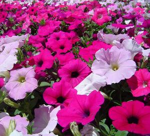 Field+of+Petunias-8292