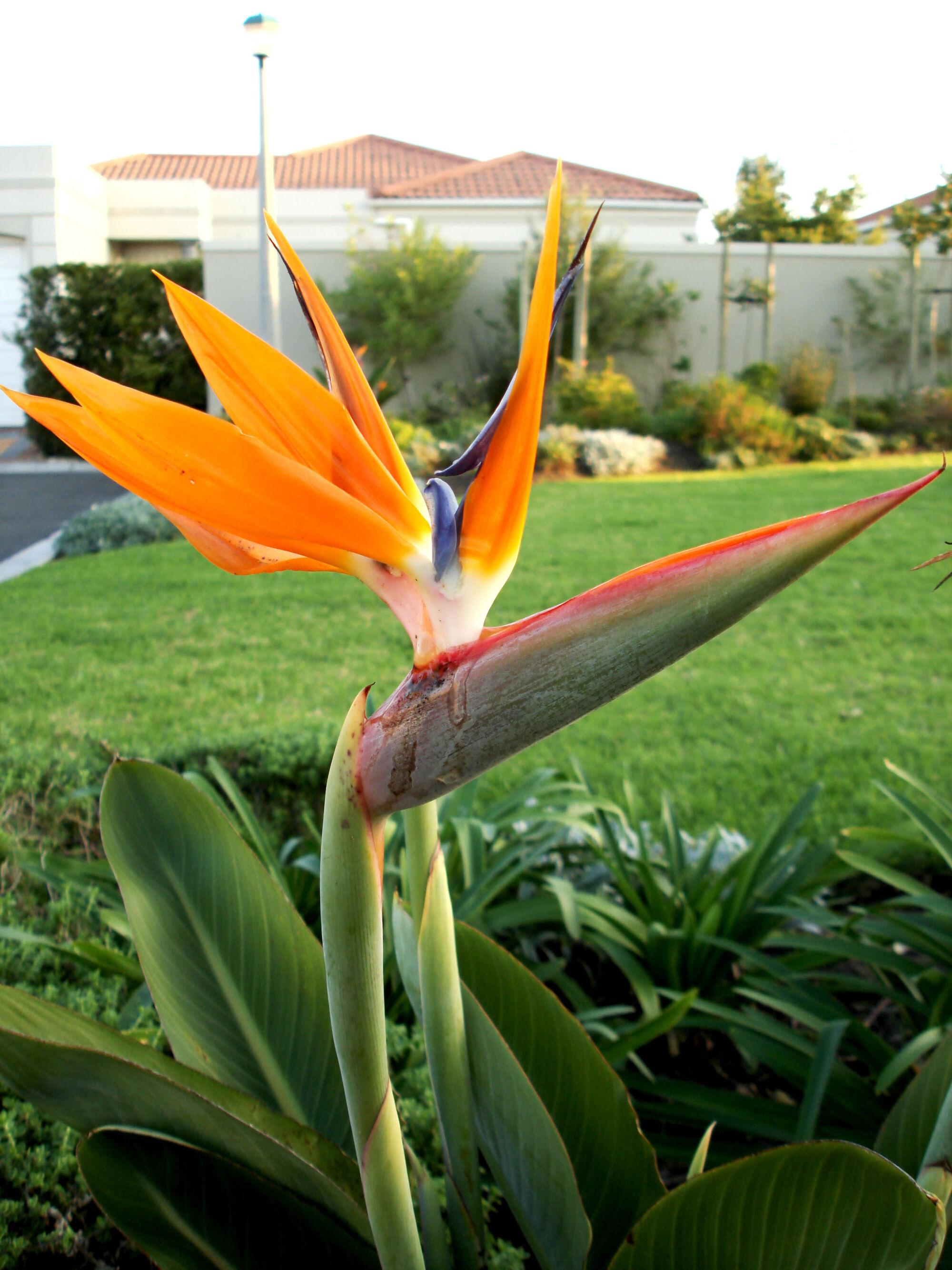 Bird of paradise flower symbolism wiki fandom powered by wikia buycottarizona