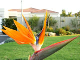 Bird of paradise (flower)