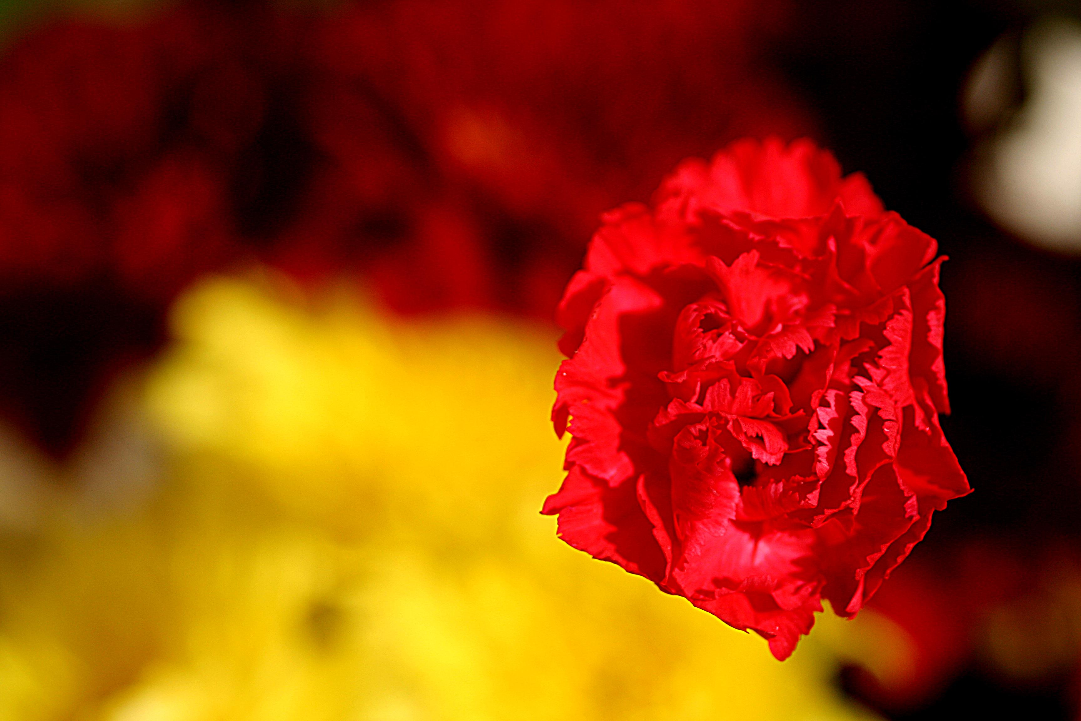 Carnation | Symbolism Wiki | FANDOM powered by Wikia