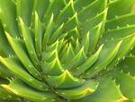 Aloe-2379