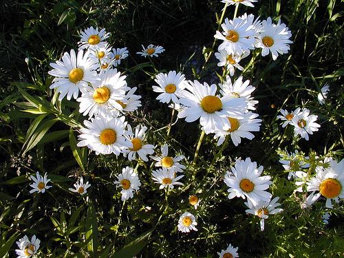 Daisy Symbolism Wiki Fandom Powered By Wikia