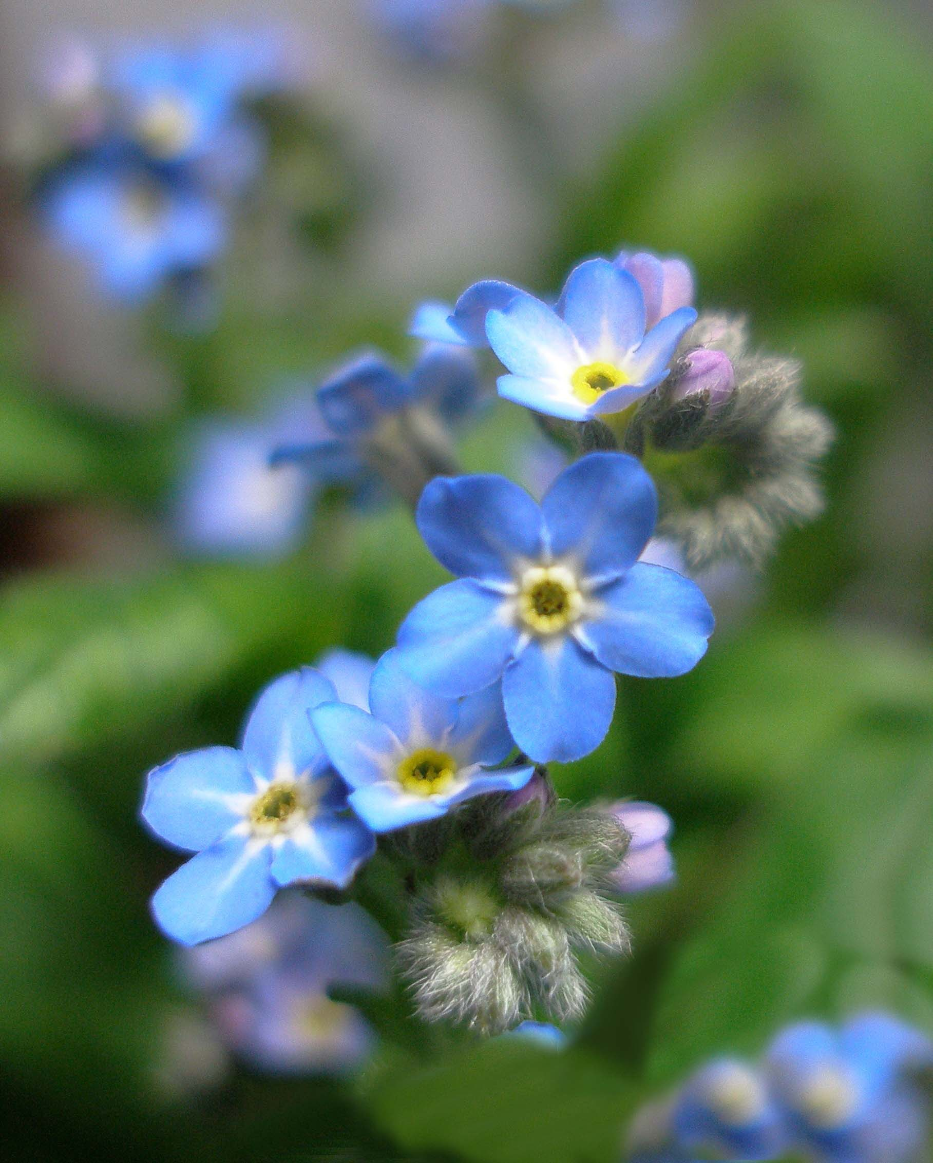 Forget me not symbolism wiki fandom powered by wikia forgetmenots 4941 mightylinksfo