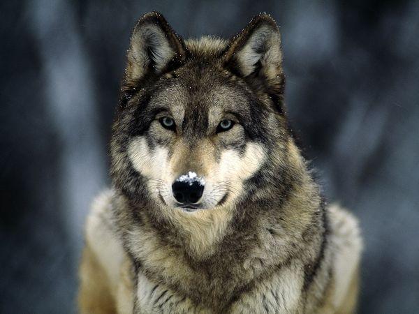 Wolf Symbolism Wiki Fandom Powered By Wikia