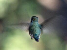 Hummingbird rear-view-606