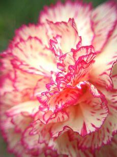 Stripe-Carnation-445