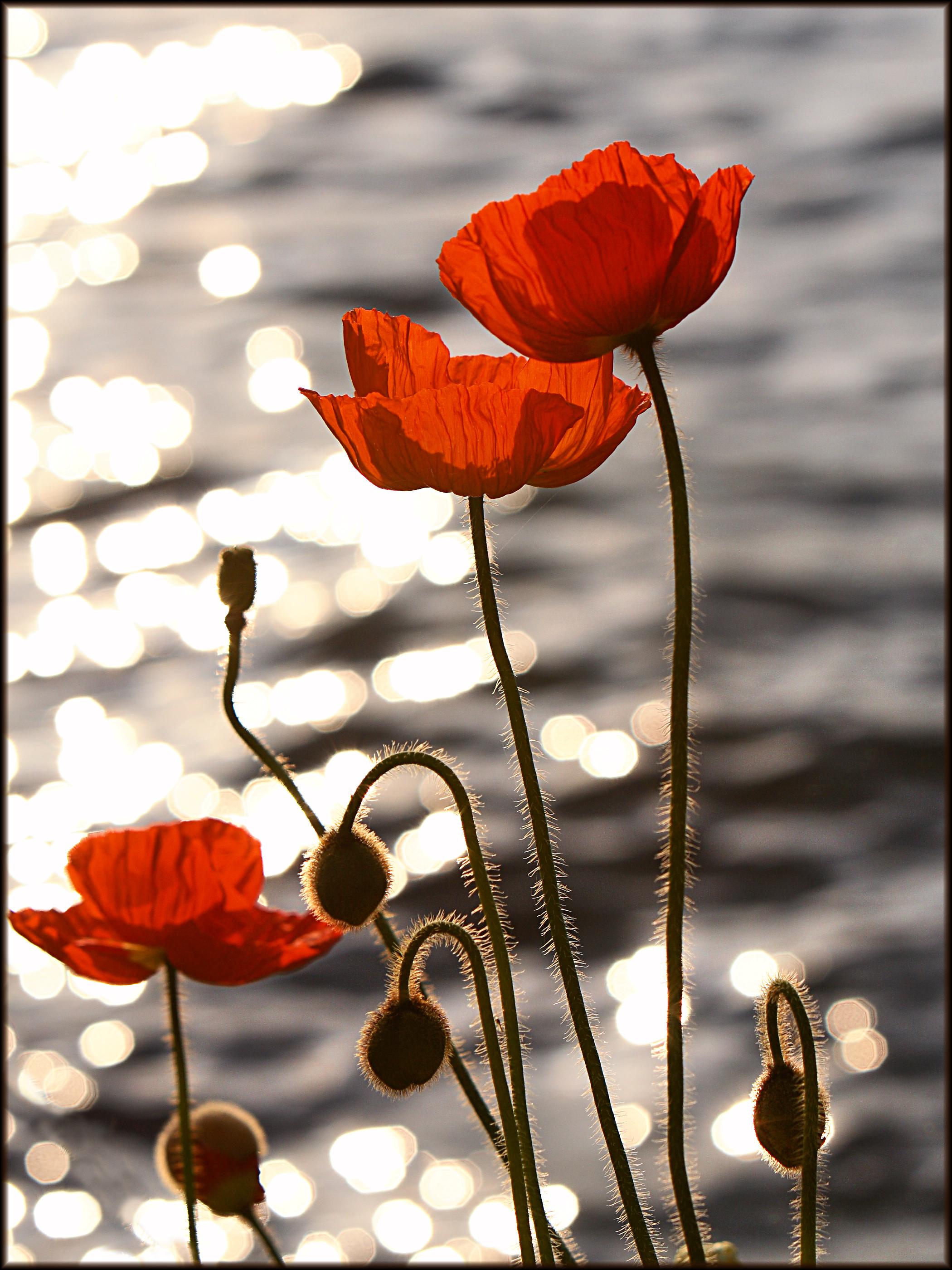 Poppy Symbolism Wiki Fandom Powered By Wikia