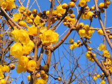 Allspice blossoms-2717