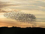 Self-organization of birds