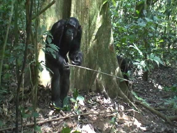 File:Chimp-tool.jpg