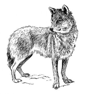 Wolf-clipart-illustration