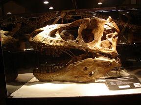 Tyrannosaurus bataar skull