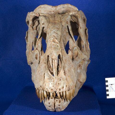 File:Tyrannosaurus bataar 10.JPG