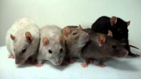 Fotoshoot ratten van Ilona 2
