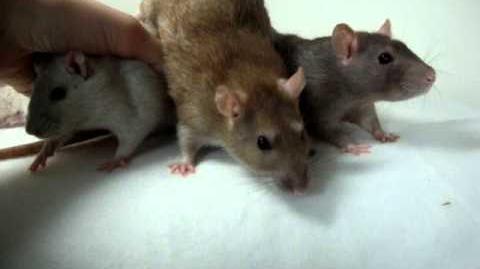 Fotoshoot ratten van Ilona