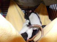 Ratopiavolwassenvrouw
