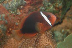 Tomato clownfish Amphiprion frenatus