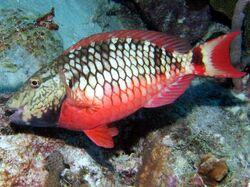StoplightParrotfish