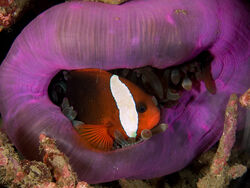 Amphiprion melanopus (Black anemonefish) in Heteractis magnifica (Magnificent anemone)