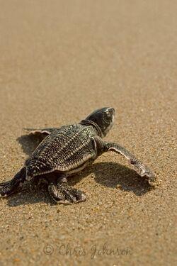 LeatherbackSeaTurtle
