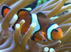 OrangeClownfish