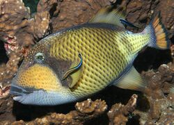 TitanTriggerfish