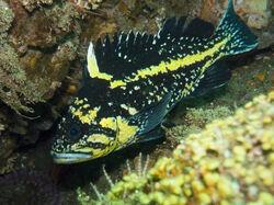 ChinaRockfish