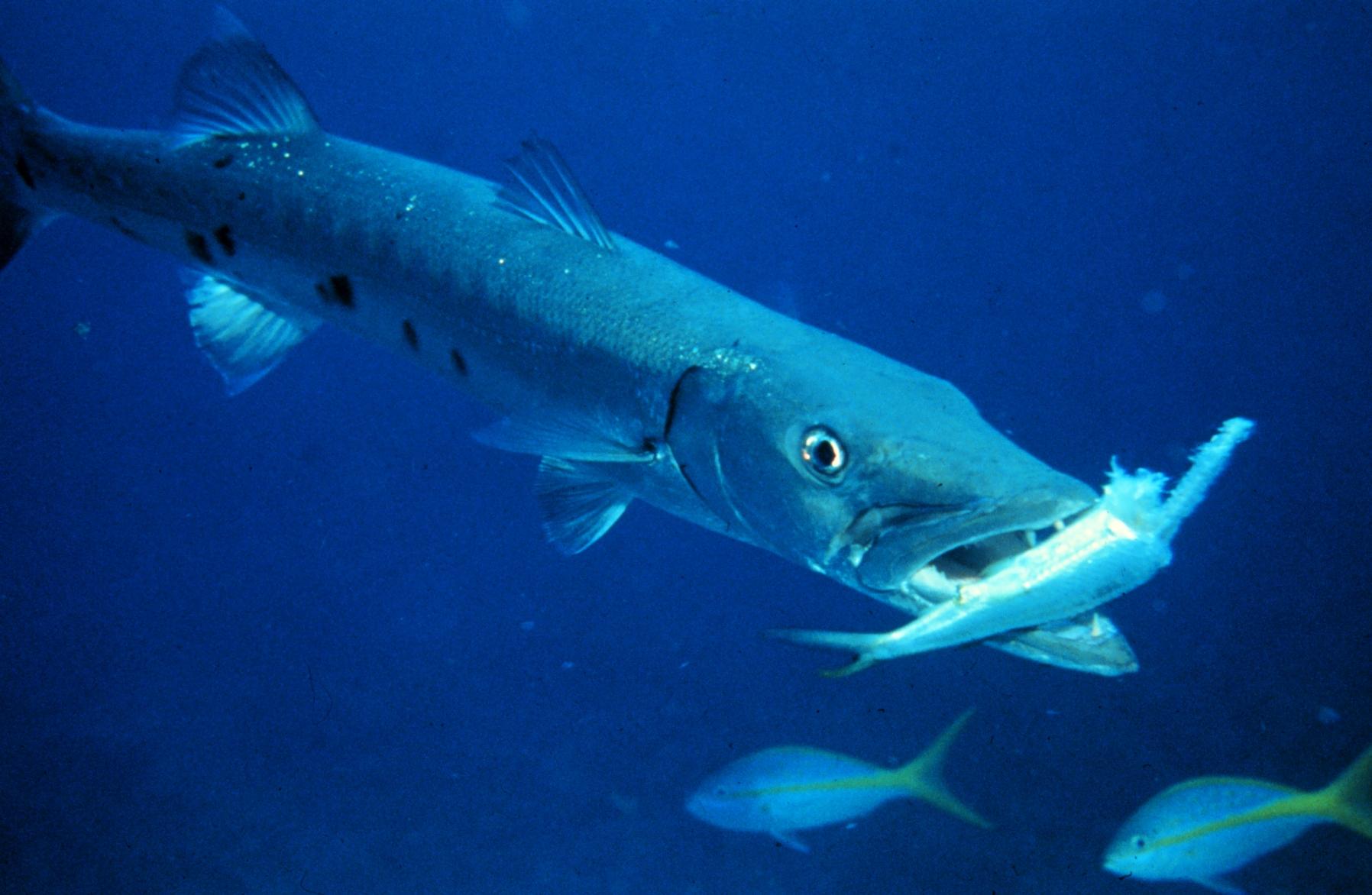уверены, картинки рыбы барракуда новогоднем